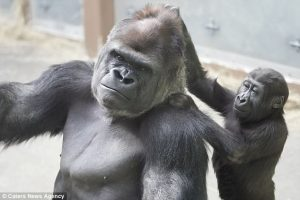 Father and Son Gorilla